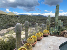 Barrel Cactus Pool Deck Desert...