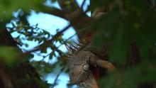 Large Male Green Iguana Bobbing Its Head Sitting On A Tree Upside Down