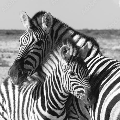 Fototapety, obrazy: Beautiful stripped zebra and calf in african bush. Etosha game reserve, Namibia, Africa safari wildlife. Wild animal in the nature habitat. This is Africa.