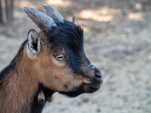 The Domestic Goat Or Simply Goat Is A Subspecies Of C. Aegagrus Domesticated From The Wild Goat Of Southwest Asia And Eastern Europe.