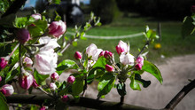 Close Up Of Pink, Wild Apple T...