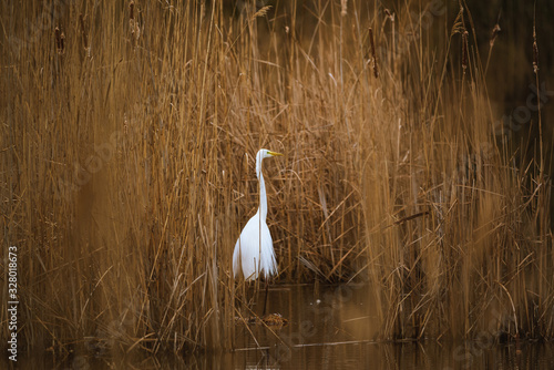 The great egret - Ardea alba in the swamp Canvas Print