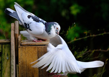 Two Feral Pigeons Fighting Ove...
