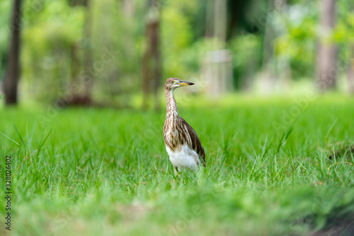 Photo Chinese pond heron / Ardeola bacchus on the lawn in the park