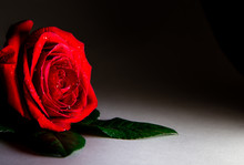 Beautiful Red Rose On A Black Background With Water Drops. Postcard. Place For Text. Macro Shooting