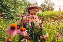 Senior Woman Gathering Flowers With Pruner In Garden. Farmer Taking Care Of Echinacea Or Coneflower. Gardening