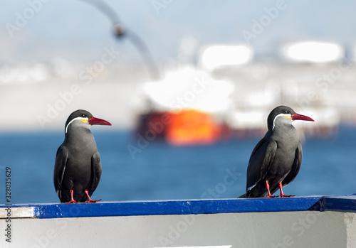 Photo Inca Tern birds on the vessel