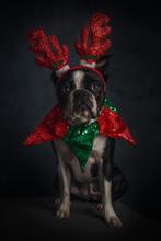 Christmas Boston Terrier (3)