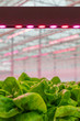 canvas print picture LED lighting used to grow lettuce inside a Dutch greenhouse