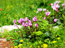 Bright Pink Wild Cyclamens And Young Grass