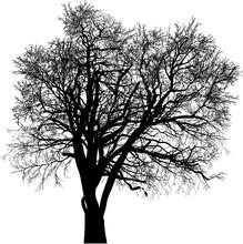 Black Bare Isolated Oak Large ...