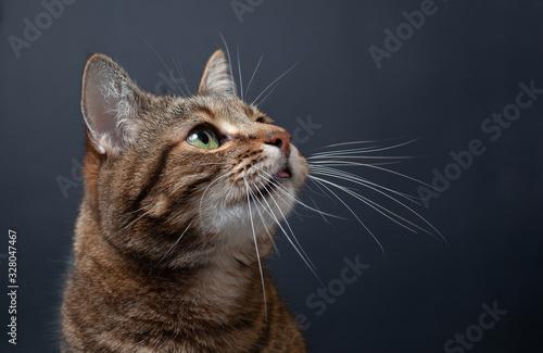 Fotografie, Obraz Brown tabby cat portrait on black background
