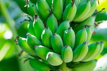 Fresh Green Raw Banana On Tree
