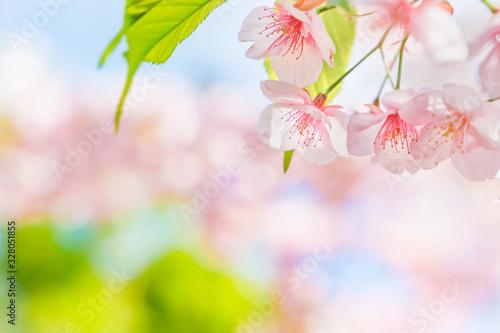 Obraz 満開の桜の花 - fototapety do salonu
