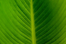 Large Ffoliage Of Tropical Lea...