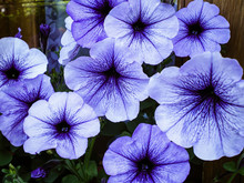 Beautiful Purple With Dark Veins Petunia Flowers Bloom On The Windowsill
