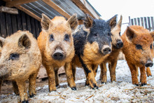 Five Curious Piglets Of The Hungarian Mangalitsa Are Crowded In The Street