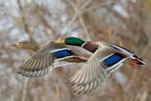 A Pair Of Mallard Ducks In Fast Flight, Closeup.Genus Species Anas Platyrhynchos.