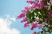 Blooming Thai Giant Crape Myrt...
