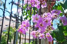 Blooming Thai Giant Crape Myrtle ,Pride Of India ,Queen's Crepe-myrtle (Lagerstroemia Speciosa ,Lagerstroemia Floribunda) Is Deciduous Evergreen Tree Has Colorful Long-lasting Flowers In Purple Color