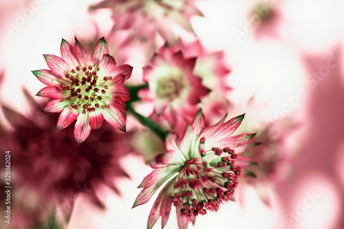 Bunch of astrantia flowers , blurry background. Wallpaper Mural