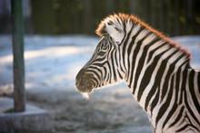 Zebra Of A Fine Mane