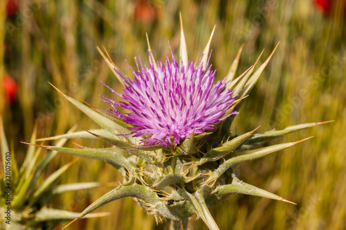 Photo flower of thistle