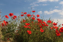 Red Poppies Taken Against Blue...