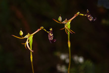 Two Flowers Of The Rare Warty Hammer Orchid, Drakaea Livida, An Endemic Orchid Species Growing In Spring In Southwest Western Australia