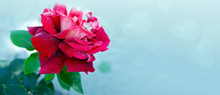 Single Red Rose Isolated On Gr...