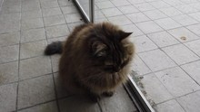 Brown Cat Near A Window Siberi...
