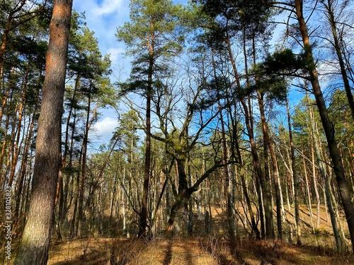 Fototapeta trees in forest obraz na płótnie