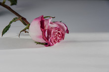 Pink Fading Rose On A White Background. Close-up. Concept: Old Age, Finale, Withering.