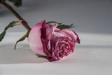 Pink Fading Rose On A White Ba...