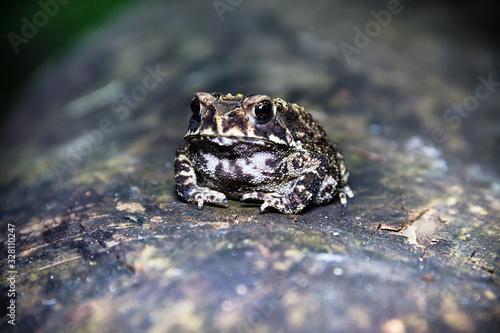 Ferguson's toad (Bufo fergusonii) in past Schneider's (dwarf) toad (Duttaphrynus Canvas Print