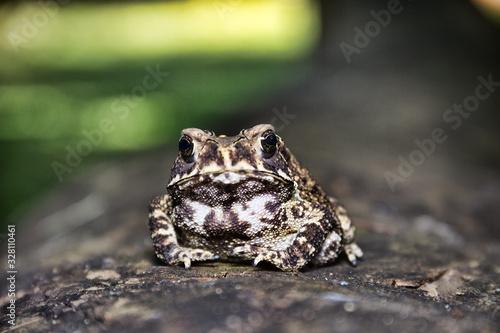 Ferguson's toad (Bufo fergusonii) in past Schneider's (dwarf) toad (Duttaphrynus Wallpaper Mural