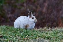 Snowshoe Hare, (Lepus Americanus) In Winter Coat, Nova Scotia, Canada,