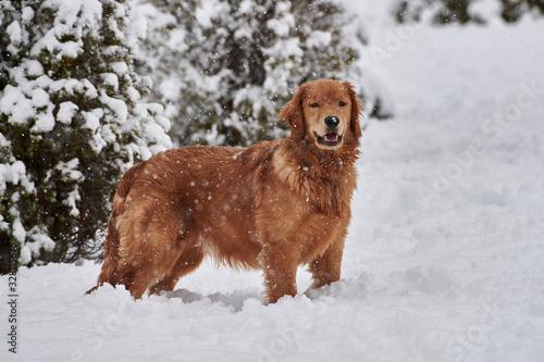 Fotografía Ellie in snow, Cherry Hill, Nova Scotia, Canada,