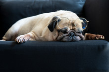 Funny Old Pug Dog  With Glasses Sleeping Rest On Modern Black Sofa In The Living Room. Tired And Bored Face In The Lazy Time