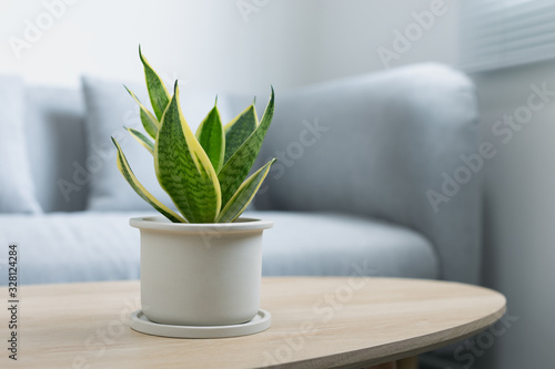 Obraz Decorative sansevieria plant on wooden table in living room. Sansevieria trifasciata Prain in gray ceramic pot. - fototapety do salonu