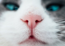Lovely Funny Kitten Face. White Cat's Nose, Macro View. Curious Animal Portrait Close Up.