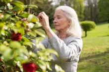 Senior Woman Picking Rose Flow...