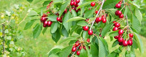 Fototapeta Cherries hanging on a cherry tree branch.
