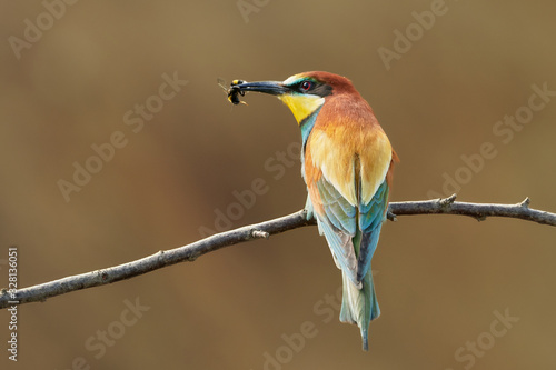 Photo Colorful bird (Bee-eater, Merops apiaster) perched on a twig in nature with a be