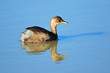 canvas print picture - Little grebe (Tachybaptus ruficollis) swimming, South Africa.