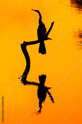 Photo Silhouette of American darter / anhinga / snakebird (Anhinga anhinga) perched on