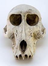 A Photograph Of A Baboon Skull...