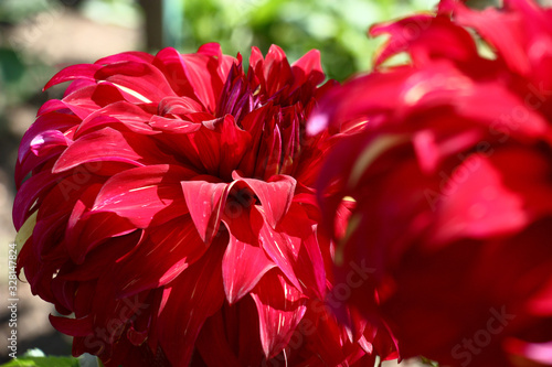 Two large flowers dahlias with red petals created a bright flower background. - 328147824