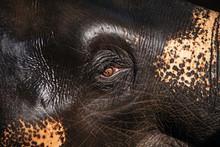 Beautiful Elephant's Eye With Wet Skin