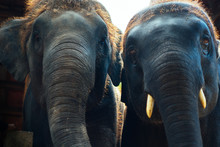Two Of Elephants Staring At Me